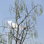 Moringa - Der Baum des Lebens